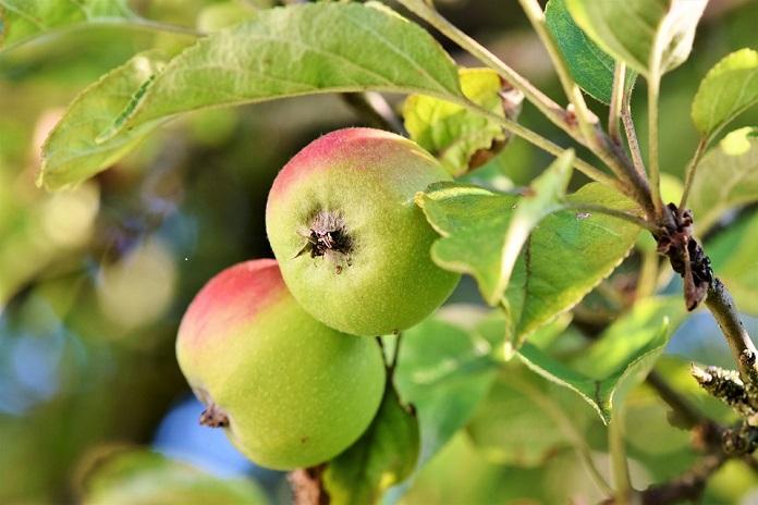 Taierea pomilor fructiferi - Reguli de taiere, ghid complet